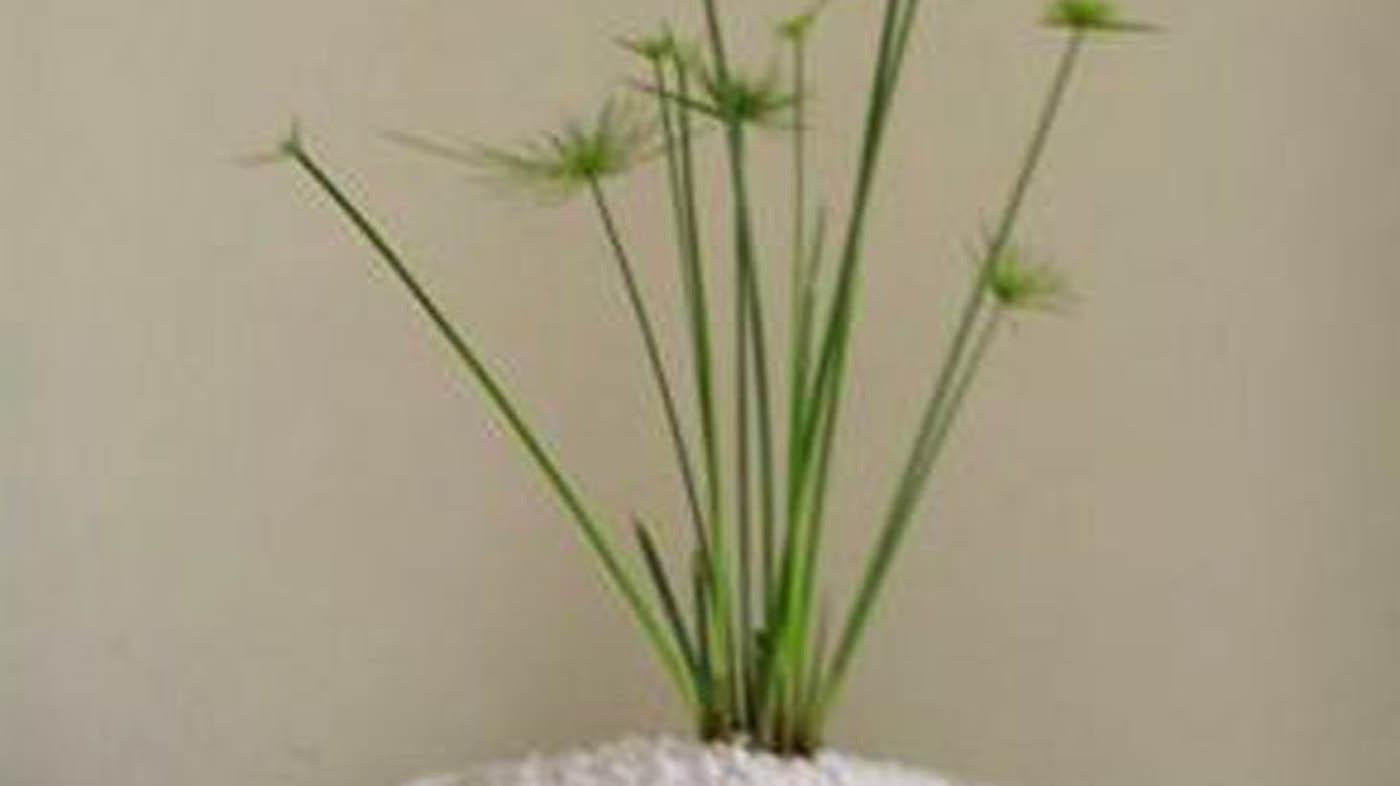 ▷ Decora il tuo bagno con una pianta di papiro - Piante per