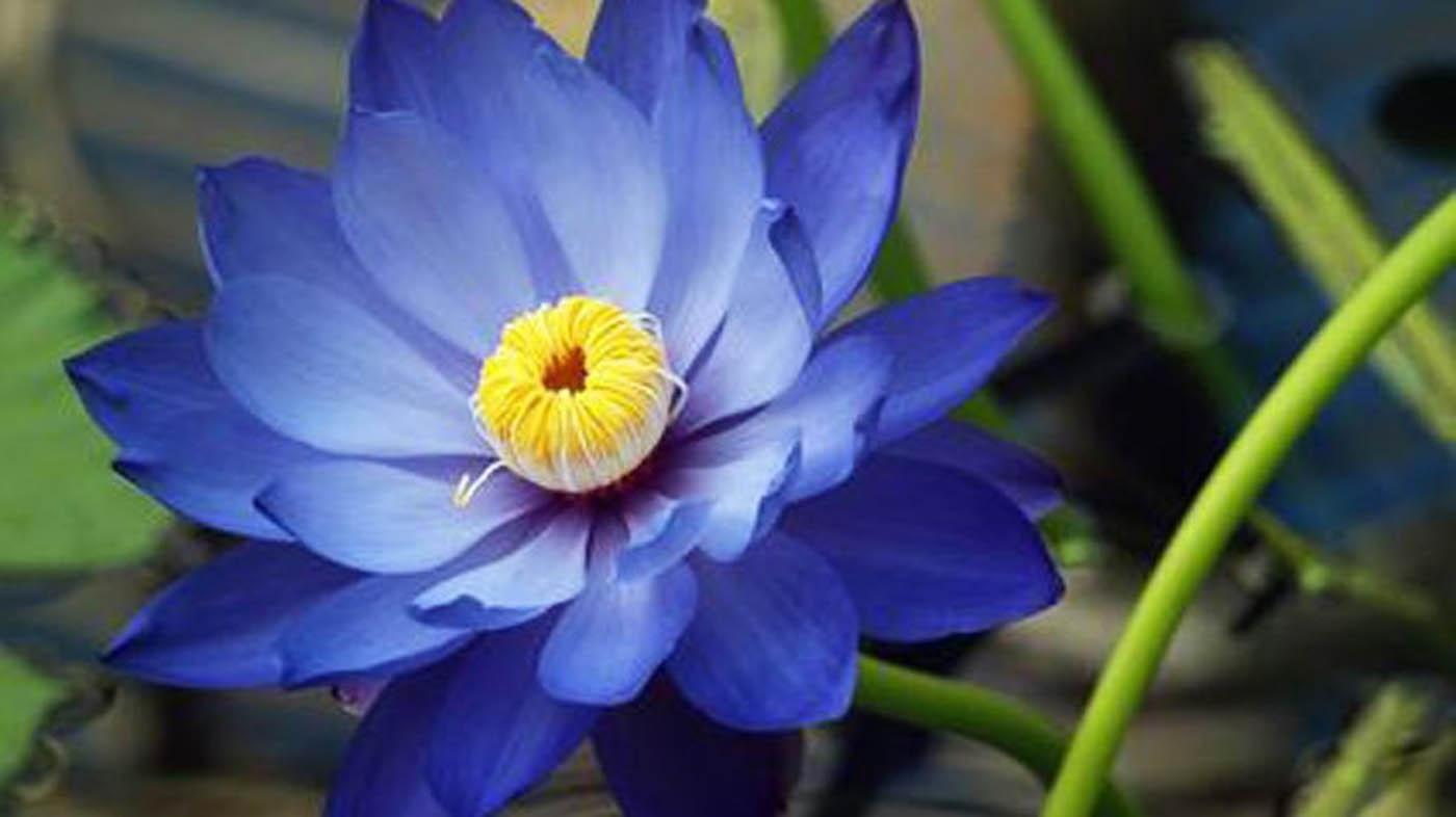 Incontra due tipi di ninfee nen far bianco e lotus blu for Fiori acquatici
