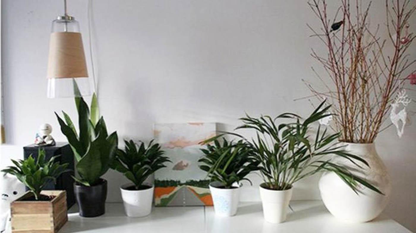 Pianta Da Ufficio Poca Luce ▷ impianti da tavolo - piante per