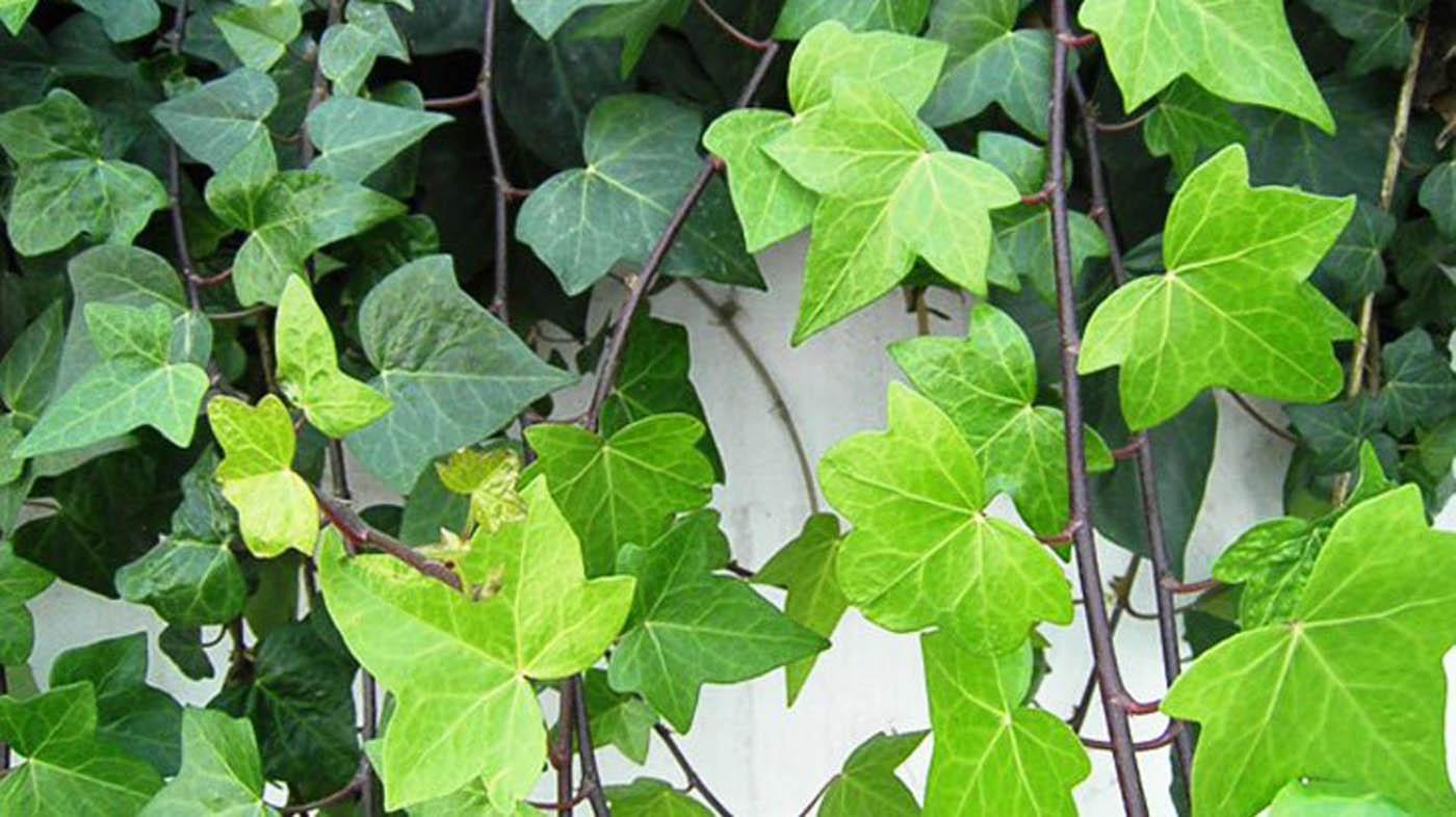 Edera Pianta Da Interno ▷ impianti per interni domestici - piante per
