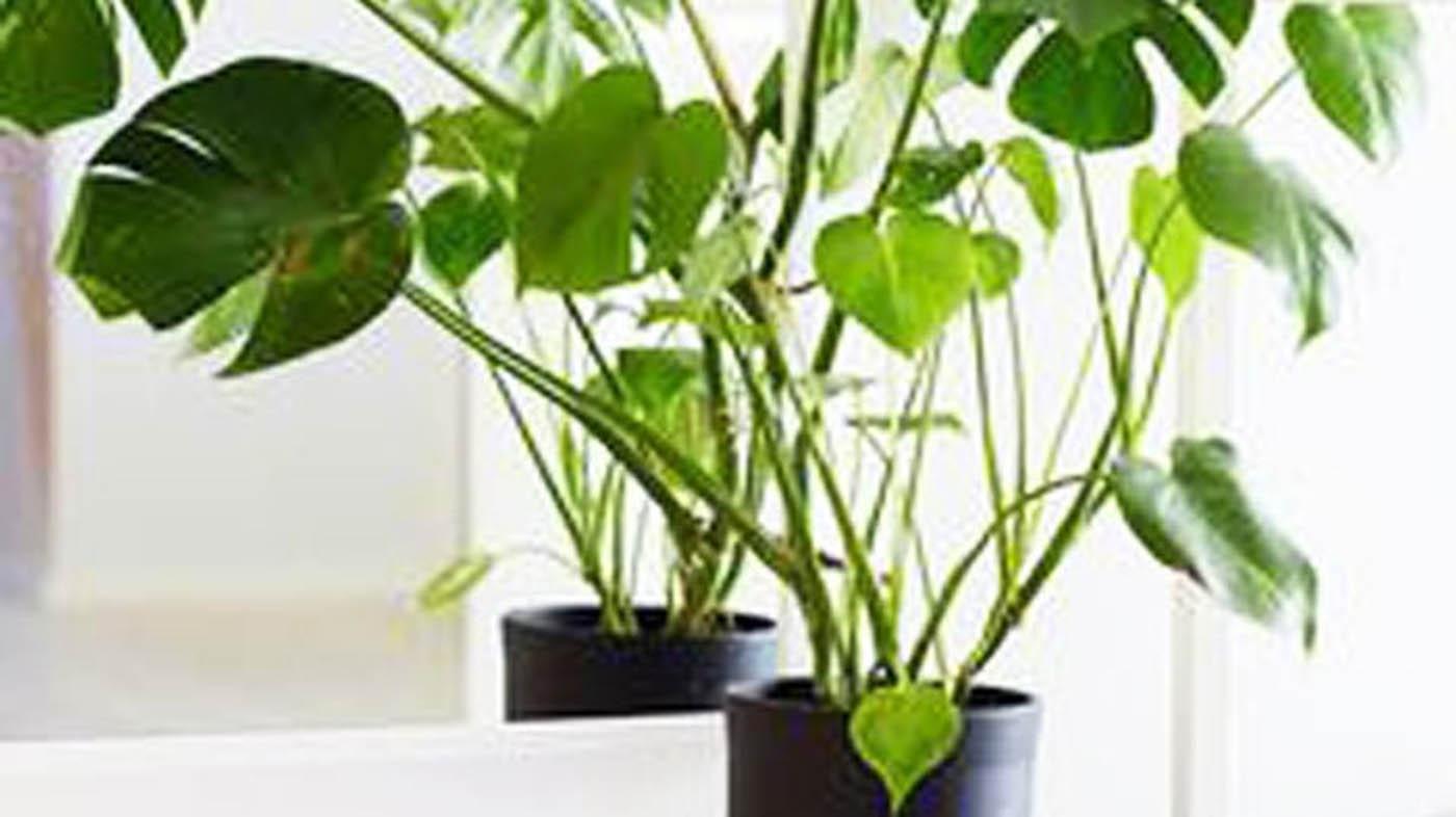 ▷ Philodendron, una pianta per decorare il vostro bagno con ...