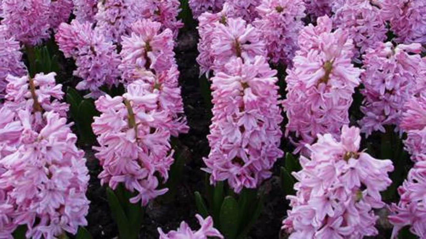 Il jacinto un 39 opzione per le piante da giardino piante per for Perenni da giardino